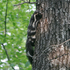 NGPC Eastern Spotted Skunk icon
