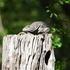 Spiny-tailed Iguana Behavior, Guanacaste National Park icon