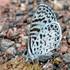 Lycaenidae de Rio Claro icon
